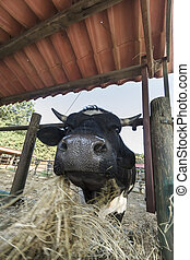 close-up of cow eating the straw