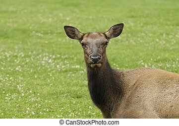 close-up of Cow Elk