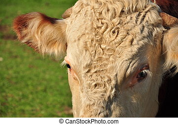 close up of cow face