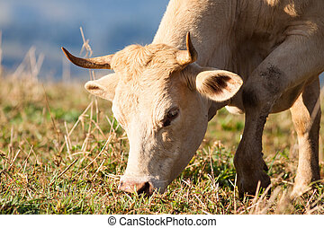 Close-up of cow grazing in pasture