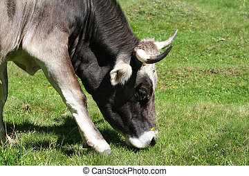 close up of Cow grazing on meadow, eating grass