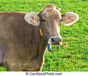 Close up of cow.