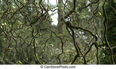 Close up of curling branches of a vine - Close up of a veil ...