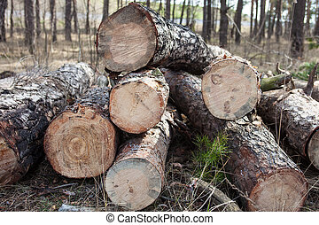 Close up of cut pine logs in the forest