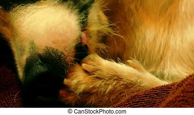 Close up of Cute Dog Licking Paw.