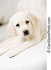 Close up of cute puppy lying on the sofa