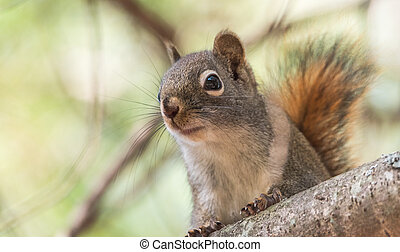 Close up of cute red squirrel on a branch.