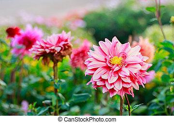 Close-up Of Dahlia Flowers.