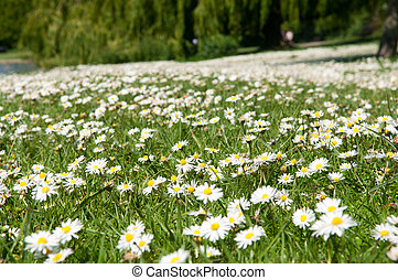 Close up of daisy flowers on a summer day