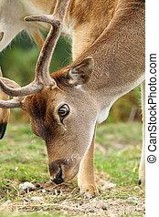 close up of dama ( fallow deer ) buck grazing