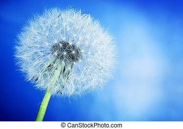 Close-up of dandelion on blue sky background. Spring theme