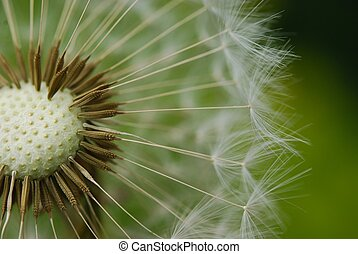 dandelion seed - close-up of dandelion seed against green...