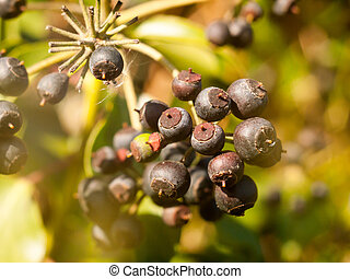 close up of dark blue many berries on shrub in autumn - Hedera helix (Ivy)