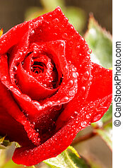 Close up of dark red rose with water droplets
