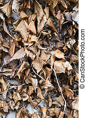 close up of dead ivy leaves on a wall