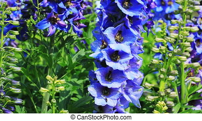 Close-up of Delphinium flowers