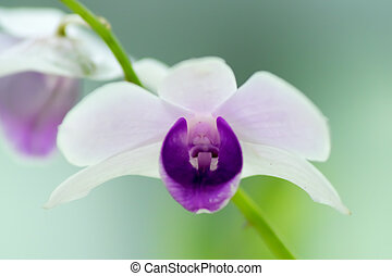 Close up of Dendrobium williamsianum, Orchidaceae, the...