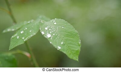 Close-up of dew on green rose leaf.