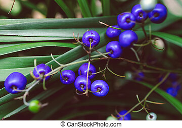 close-up of dianella tasmanica plant with blue berries shot at shallow depth of field