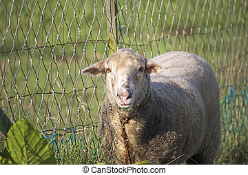 Close up of dirty white sheep looking at camera, next to rustic and crooked chain fence.