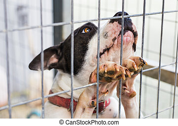 Close up of dog bulldog in a cage.