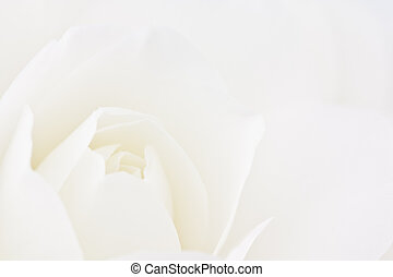 Close-up of double white Camellia - Macro of double creamy ...
