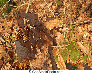 close up of dried brown autumn oak leaves on a branch with a sunlit forest background