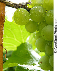 Close Up of Drops on Ripe Grape Cluster on Vine