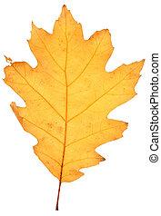 dry oak leaf