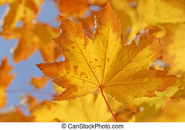 dry yellow leaf on branch of maple tree
