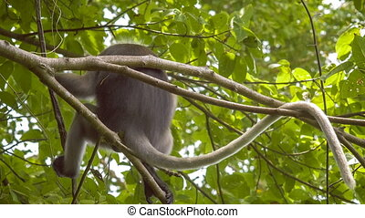 Close up of Dusky Leaf Monkey, Langur on Tree Eating Green Leaves and Watching Down, Railay, Krabi, Thailand