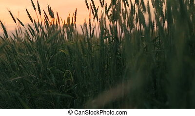 Close up of ears of wheat. Colourful sky background