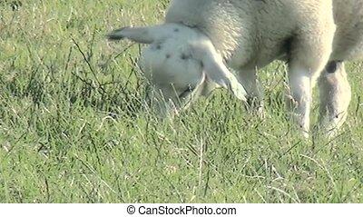 Close Up of eating sheeps.