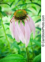 close up of echinacea flower