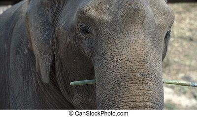 Close up of elephant eating sugarcane - Close up shot of an...