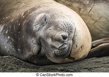 Close-up of elephant seal asleep on beach