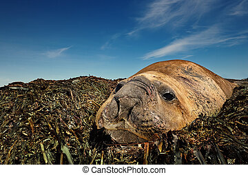 Close-up of Elephant Seal lying on sea weeds