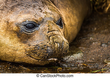Close-up of elephant seal on muddy beach