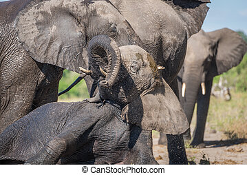 Close-up of elephant trying to stand up