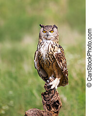 Close-up of Eurasian Eagle Owl perching on a post