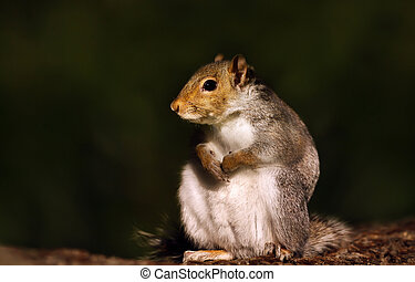 Eurasian grey squirrel sitting on a wooden log