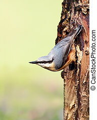 Eurasian nuthatch perched on a tree trunk