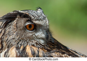 European eagle owl - Close up of European eagle owl with ...