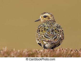 Close up of European golden plover