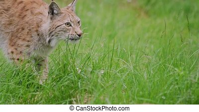 Cloe-up portrait of a european lynx or bobcat playing at the forest floor in the summer.