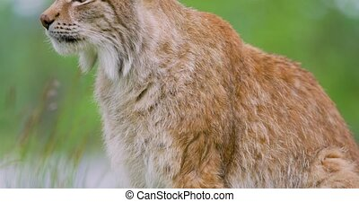 Close-up of european lynx sitting in the forest - Close-up...