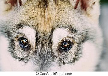 Close Up Of Eyes Of Husky Dog Puppy