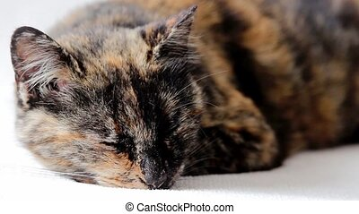 Close-up of face of a relaxed tortoiseshell senior cat lying...