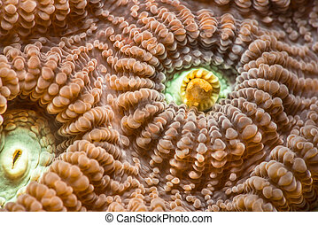 Close up of Favia favus coral