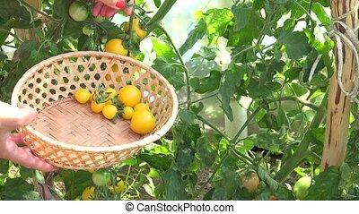 female hand pick fresh eco small yellow tomato in greenhouse.
